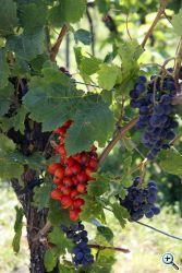 dreher heppenheim red wine 8047 web